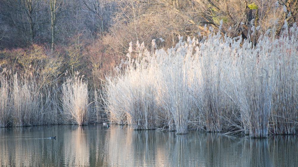 Teich mit Schilf im Kurpark Oberlaa